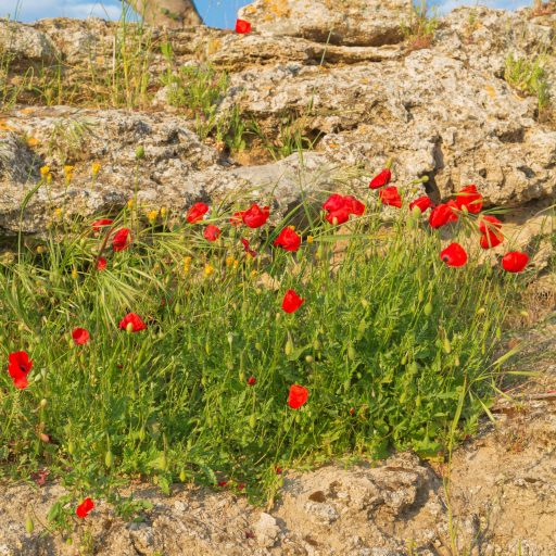 Blooming poppies natural background grass flower rural